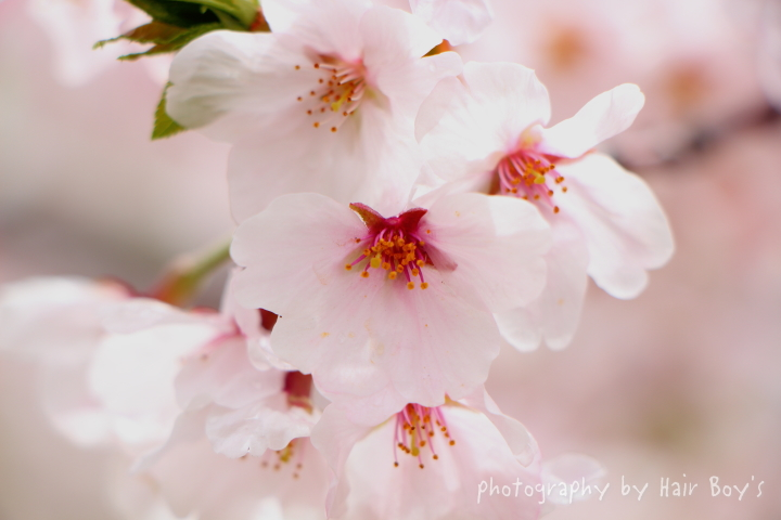 Sakura in 早島公園!