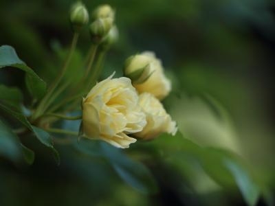 木香薔薇 満開!^^