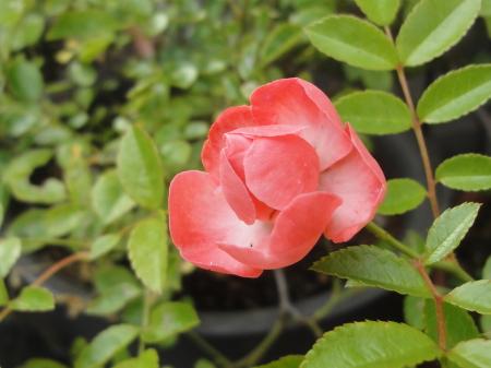 薔薇が咲いた・・・!^^