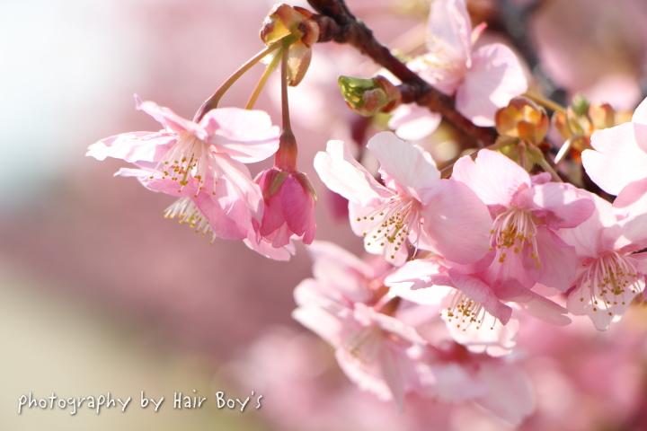 桜シーズン到来!?
