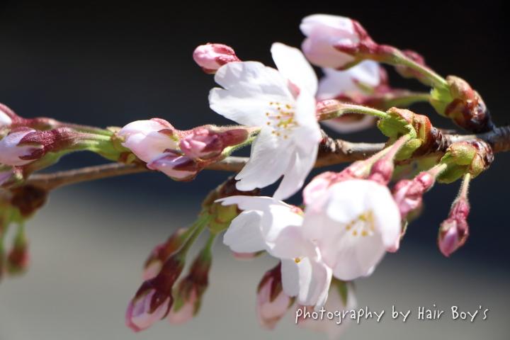 桜だより・・・