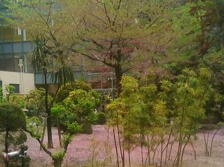桜のじゅうたん!