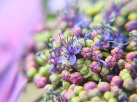 梅雨盛り、紫陽花盛り♪