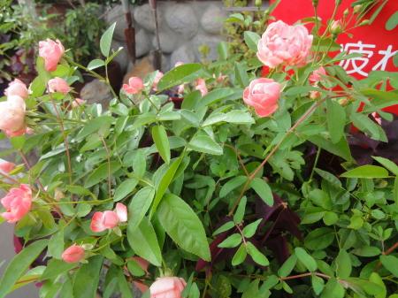 薔~薇が咲いた~♪