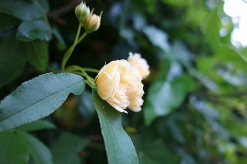 薔薇が咲いた~!♪^^;