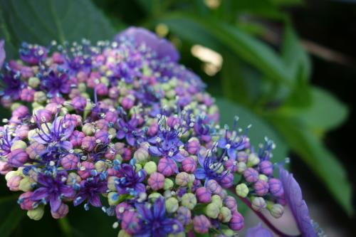 紫陽花開花♪