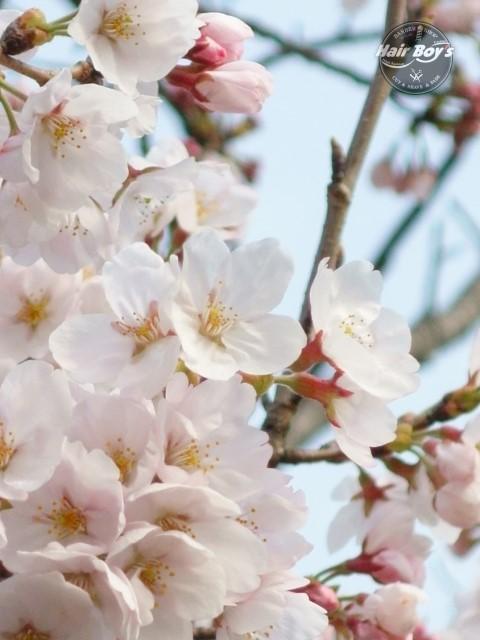 桜・さくら・サクラ!